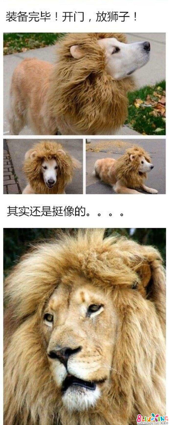 金毛变狮王